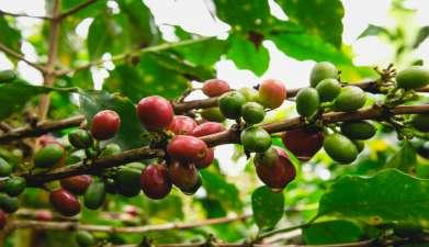 Besuch einer Hacienda mit Kaffee-Tour und Verkostung