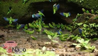 Papageien Lecke und Kichwa Gemeinde