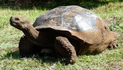 Galapagos Riesenschildkröten auf Rancho Primicias und Charles Darwin Station