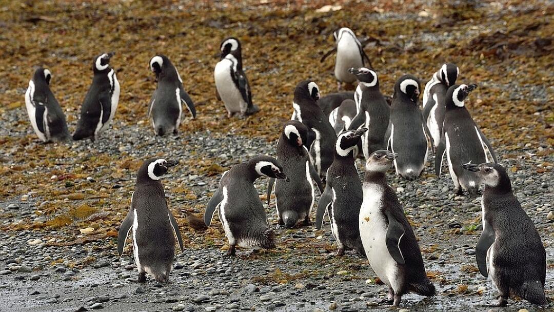Tag 13 Punta Arenas-Santiago de Chile: Ausflug auf die Isla Magdalena