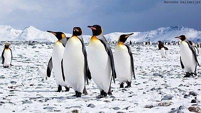 Bild MS Ortelius Antarktis Reise: Südgeorgien