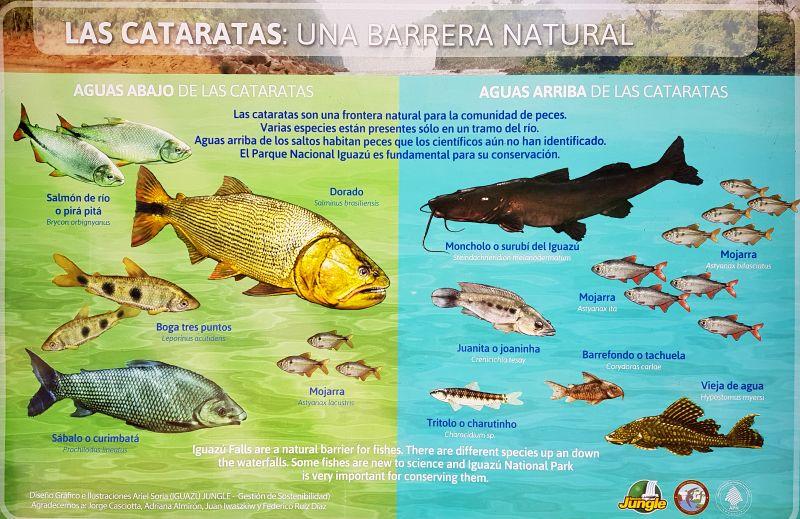 Fische an den Iguazu Wasserfällen
