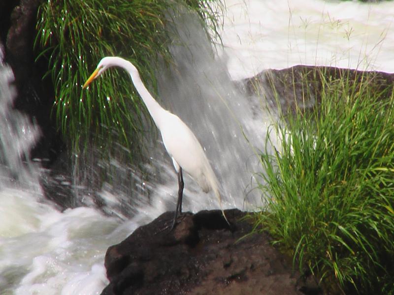 Silberreiher, Iguacu Wasserfälle, Foz do Iguacu, Brasilien