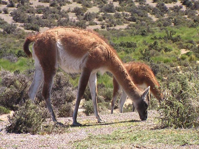Flora und Fauna in Puerto Madryn, Argentinien