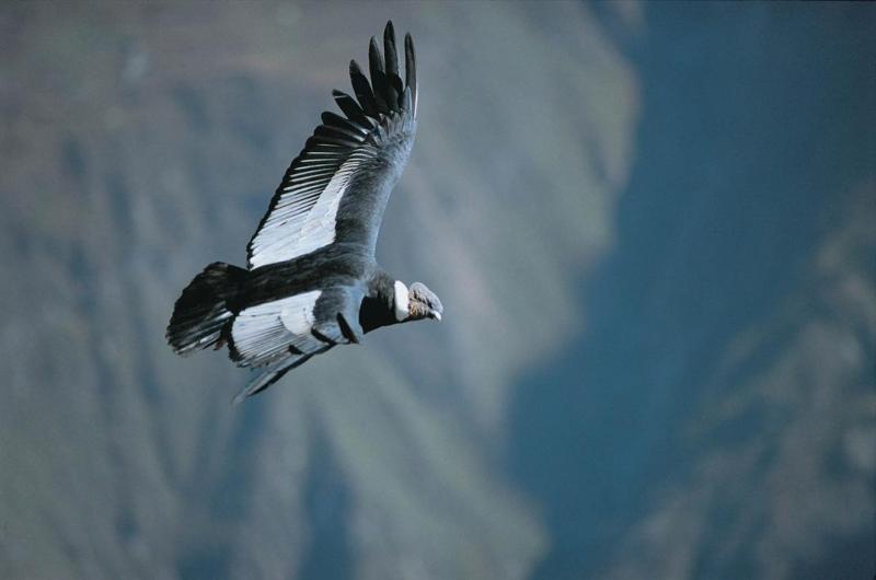 Andenkondor, Arequipa, Peru - Reiseinformationen