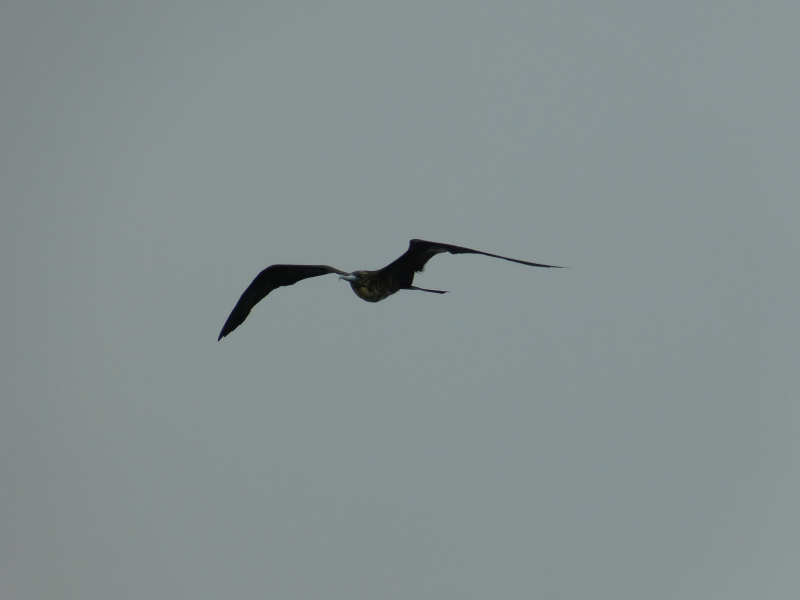 Vogelbeobachtung Bocas del Toro, Panama