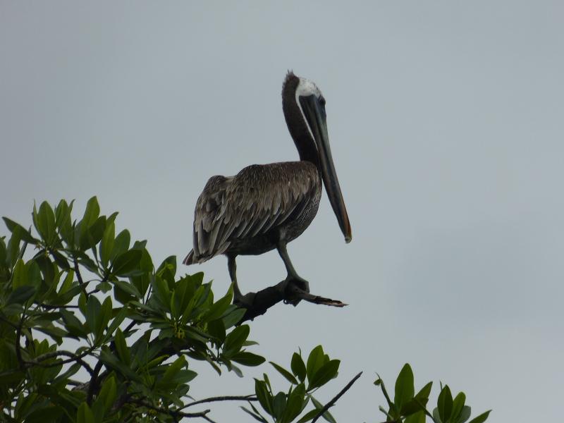 Pelikane Vogelbeobachtung Bocas del Toro, Panama