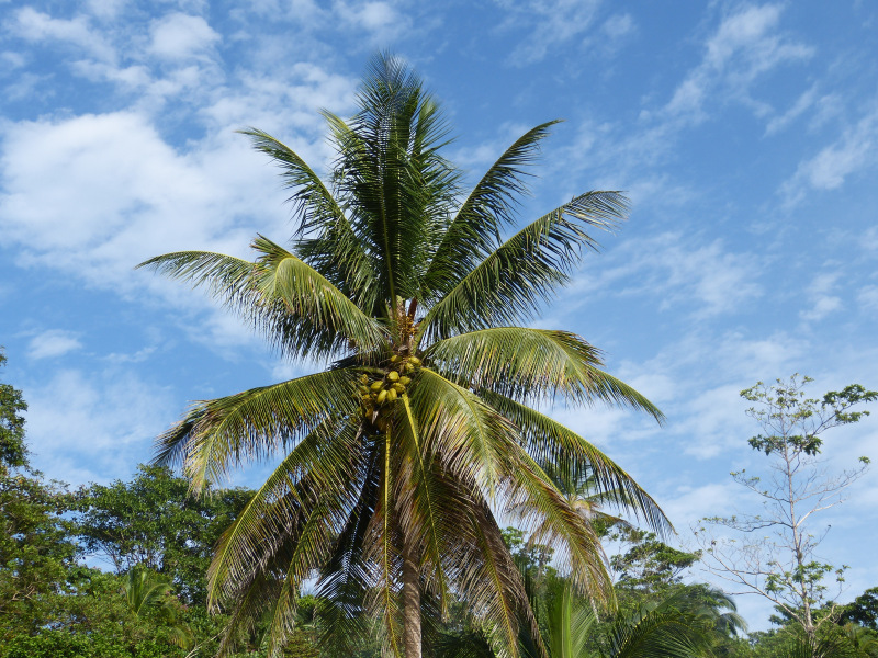 Palme Vegetation Bocas del Toro, Panama