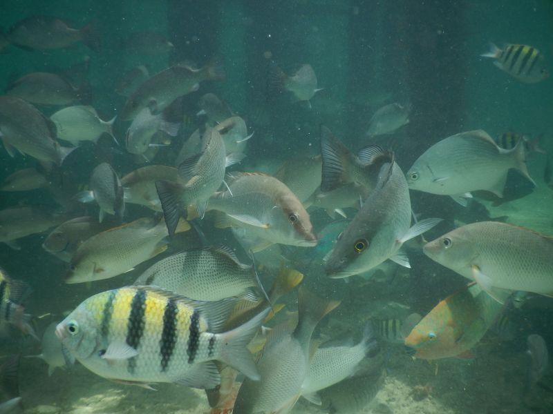 Fische Cayo Coral Bocas del Toro, Panama