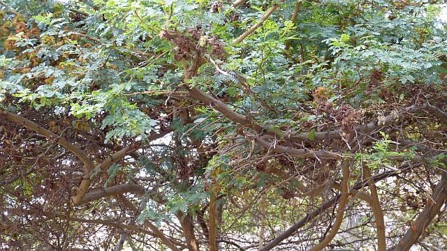 Mimosa Peru
