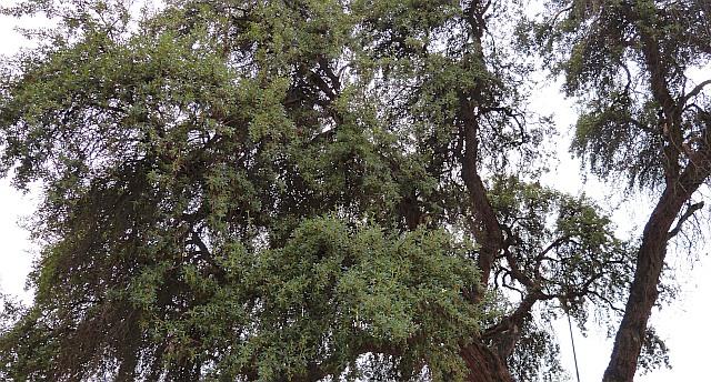 Polylepis Peru