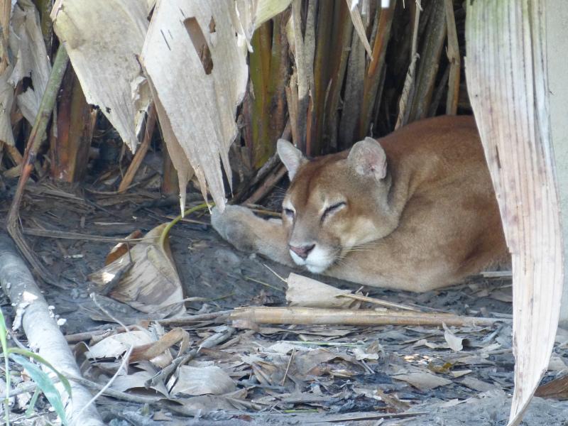 Puma, Orinoco Delta, Venezuela
