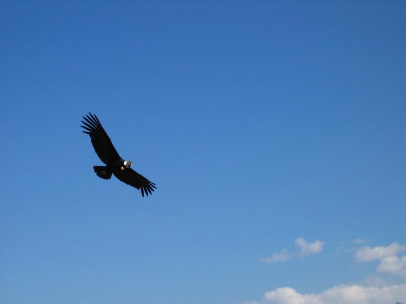 Andenkondor, Tierwelt im Nationalpark Torres del Paine, Patagonien, Chile