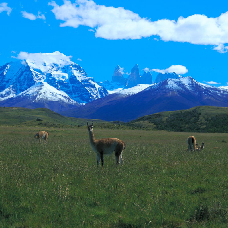 Guanakos, Tiere im Paine Nationalpark, Patagonien, Chile