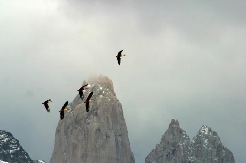 Ibisse, Tierwelt im Nationalpark Torres del Paine, Patagonien, Chile