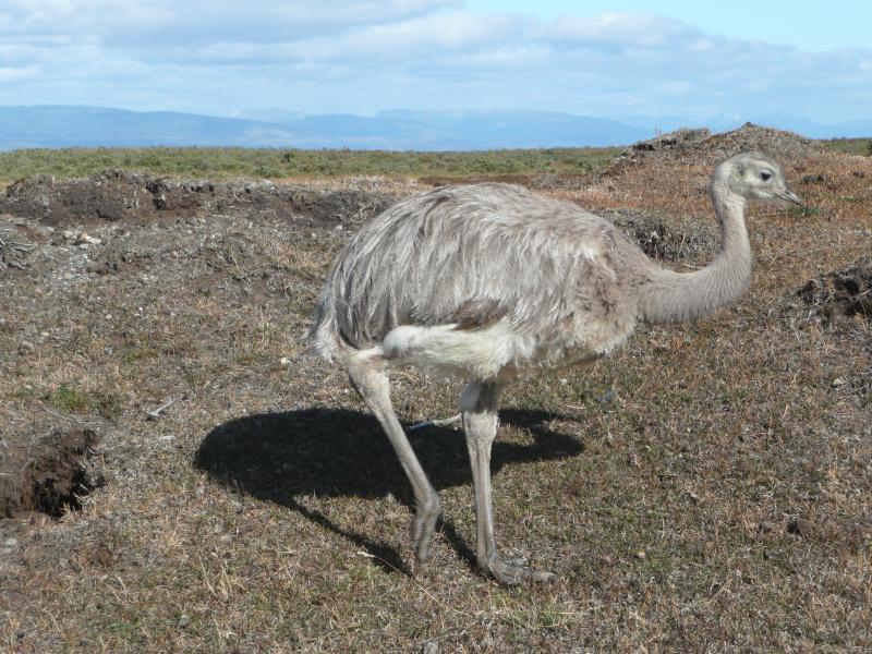 Nandu, Tierwelt im Nationalpark Torres del Paine, Patagonien, Chile