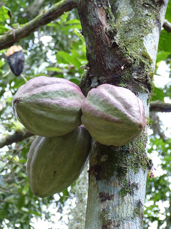 Kakao der Halbinsel Paria, Venezuela