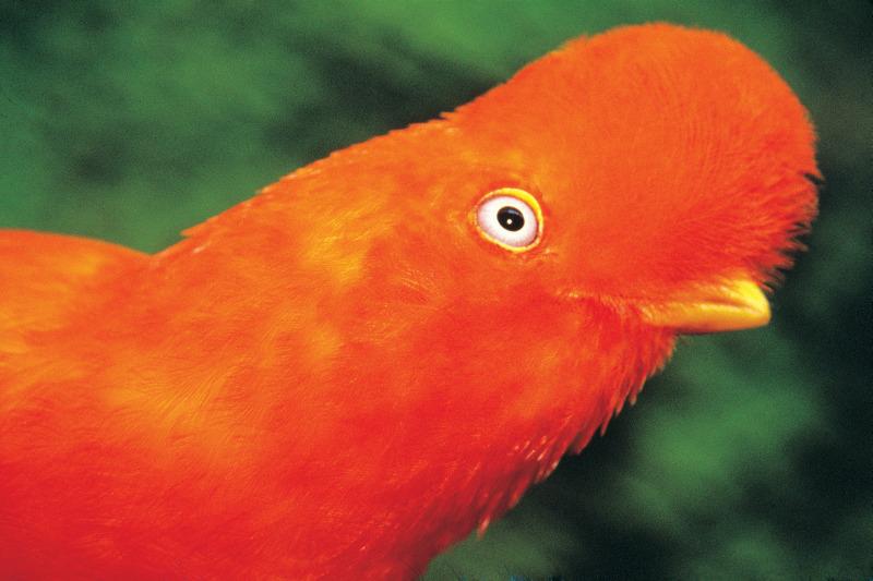 Andenklippenvogel, Puerto Maldonado, Madre de Dios, Peru - Reiseinformationen