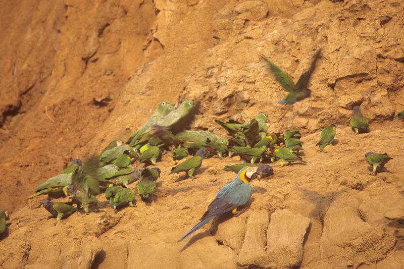 Papageien-Salzleck, Puerto Maldonado, Madre de Dios, Peru - Reiseinformationen