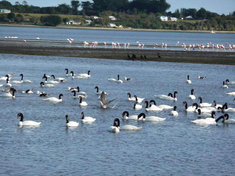 Schwarzhalsschwäne und Flamingos, Flora un d Fauna in Chiloé, Chile