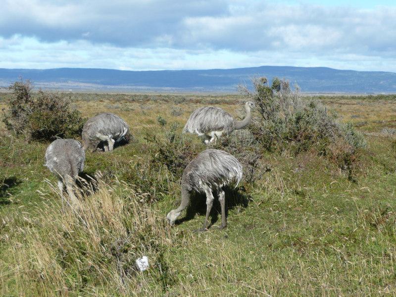 Nandu, Tierwelt rund um Punta Arenas, Chile