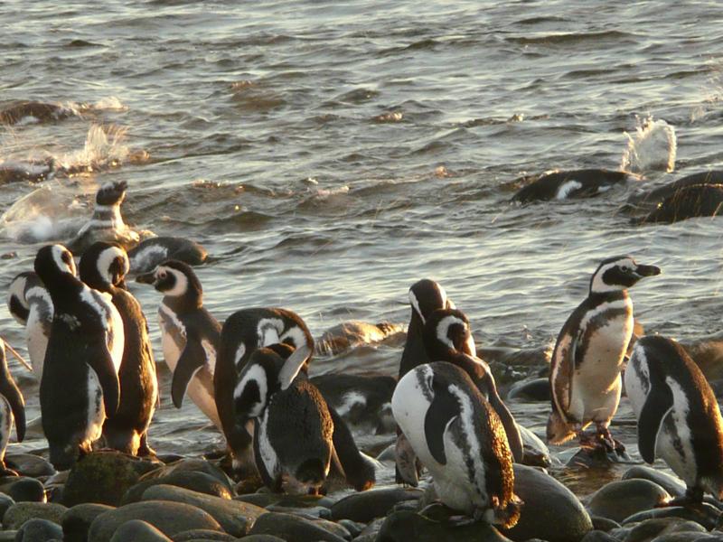 Magellanpinguine, Tierwelt rund um Punta Arenas, Chile