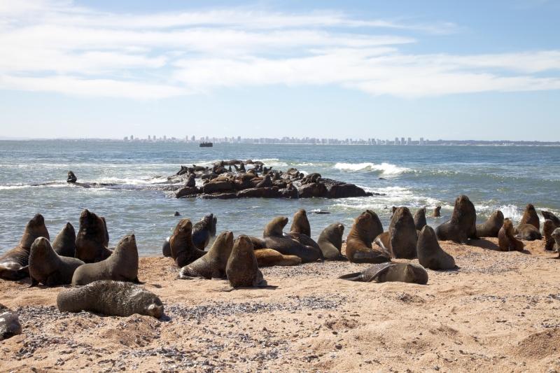Seelöwen in Punta del Este