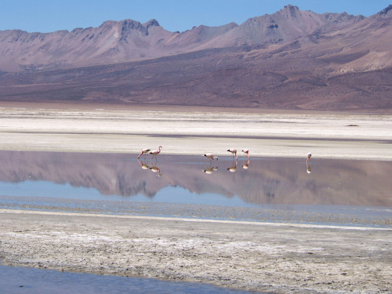 Flamingos im Salar de Surire, Putre, Chile