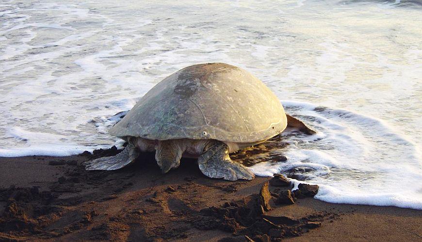 Schildkröte Tortugero