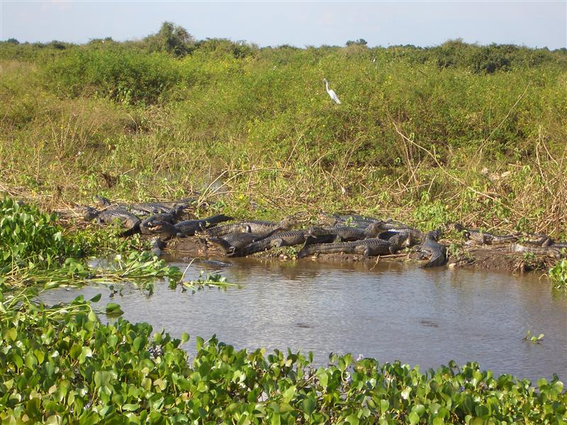 Kaimane, Pantanal, Brasilien