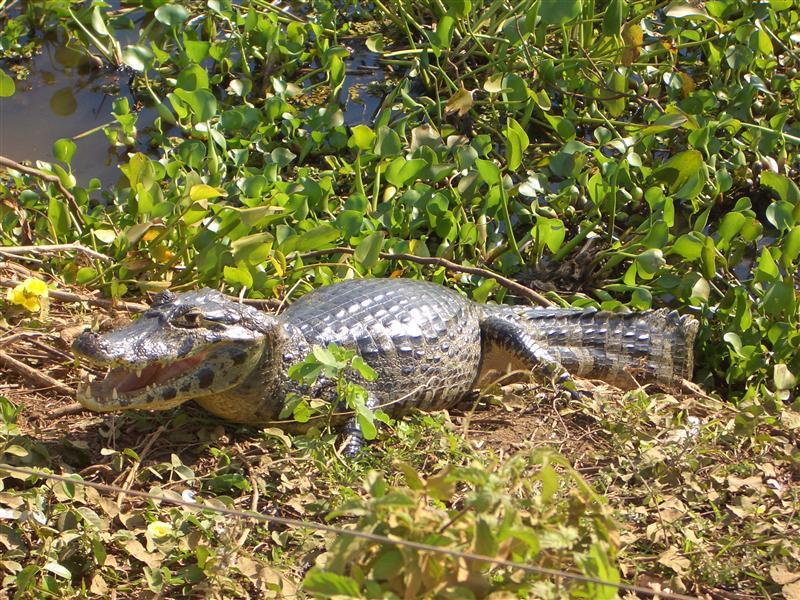 Kaiman, Pantanal, Brasilien