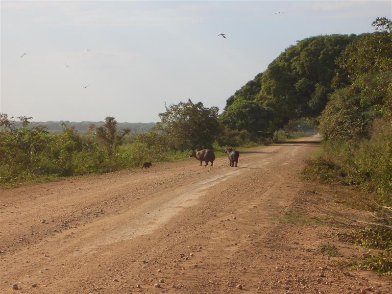 Wasserschweine, Pantanal, Brasilien
