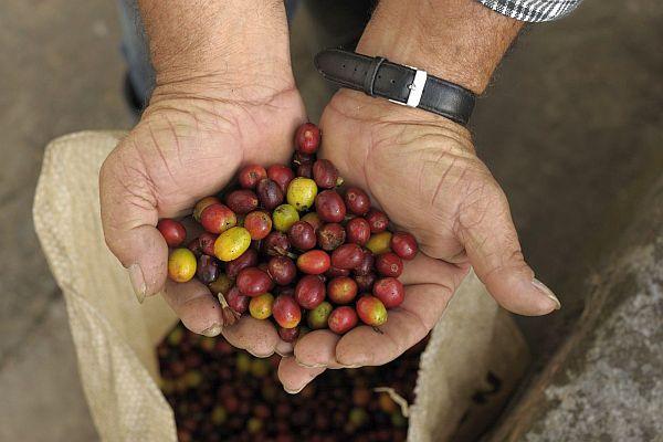 Kaffeebohnen in der Kaffeezone, Kolumbien