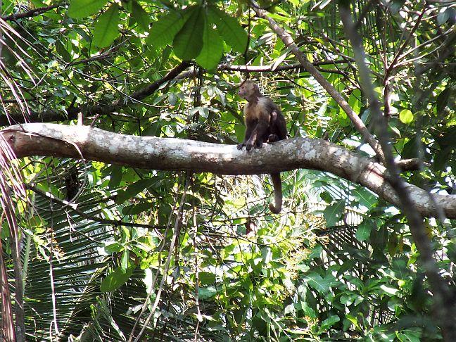 Affe im Nationalpark Tayrona, Kolumbien