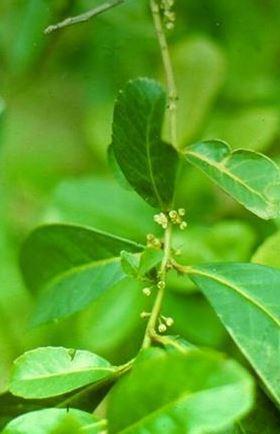 Ilex paraguayensis