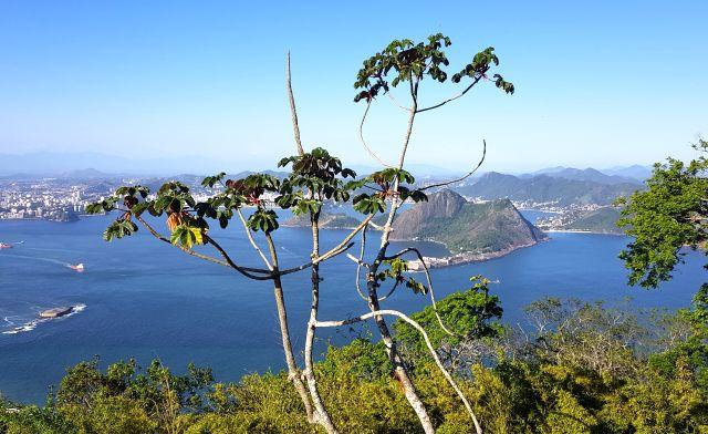 Cecropie Rio de Janeiro