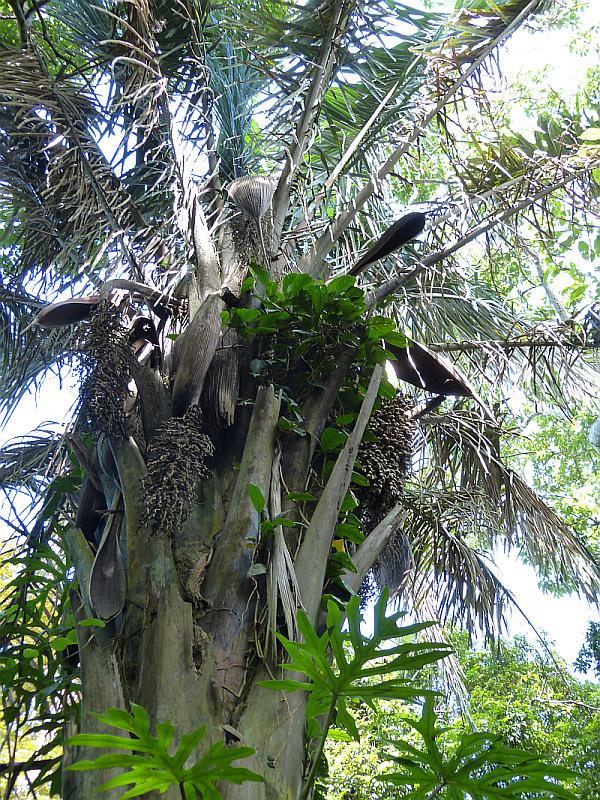 Attalea Butyracea, Puerto Maldonado, Madre de Dios, Peru - Reiseinformationen
