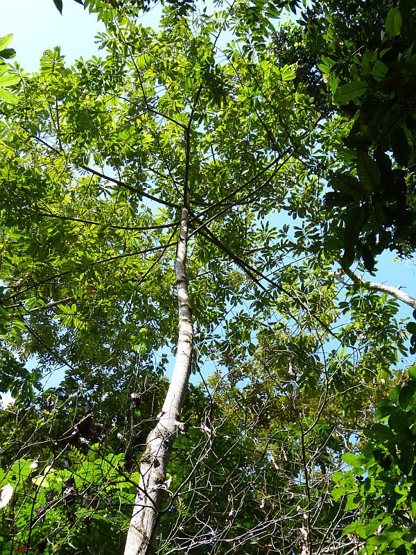 Talgmuskatnussbaum, Puerto Maldonado, Madre de Dios, Peru - Reiseinformationen